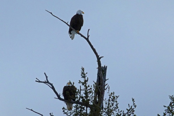 bald-eagles-52461_960_720