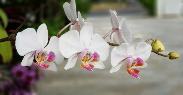 orchid-3274591_960_720